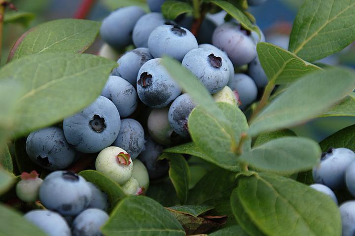 ブルーベリー 栽培 方法